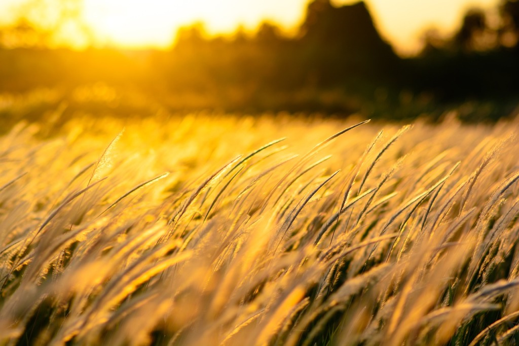 Champ de blé au soleil