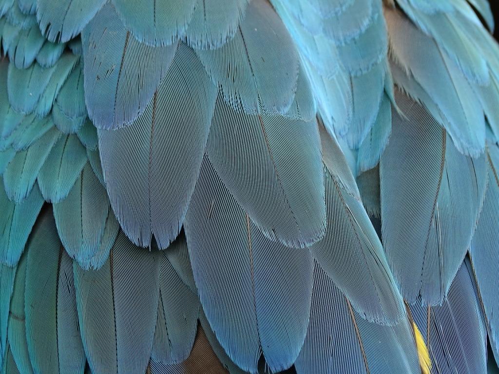 Plumage oiseau bleu